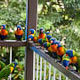 mike in australia: lorikeets on magnetic island